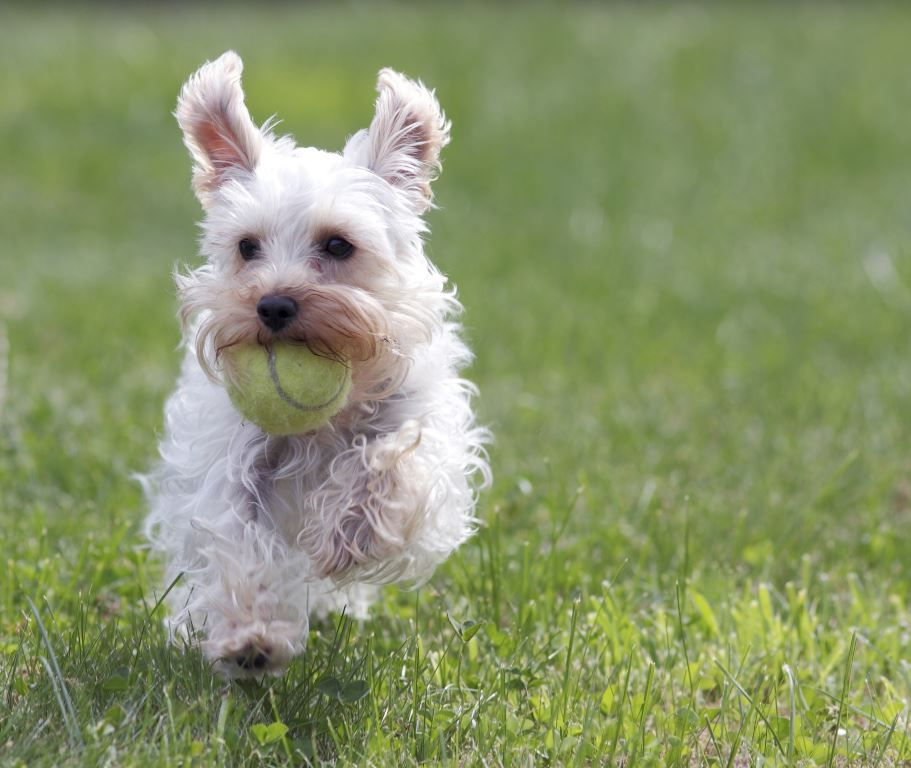 small dog running with tennis ball in mouth
