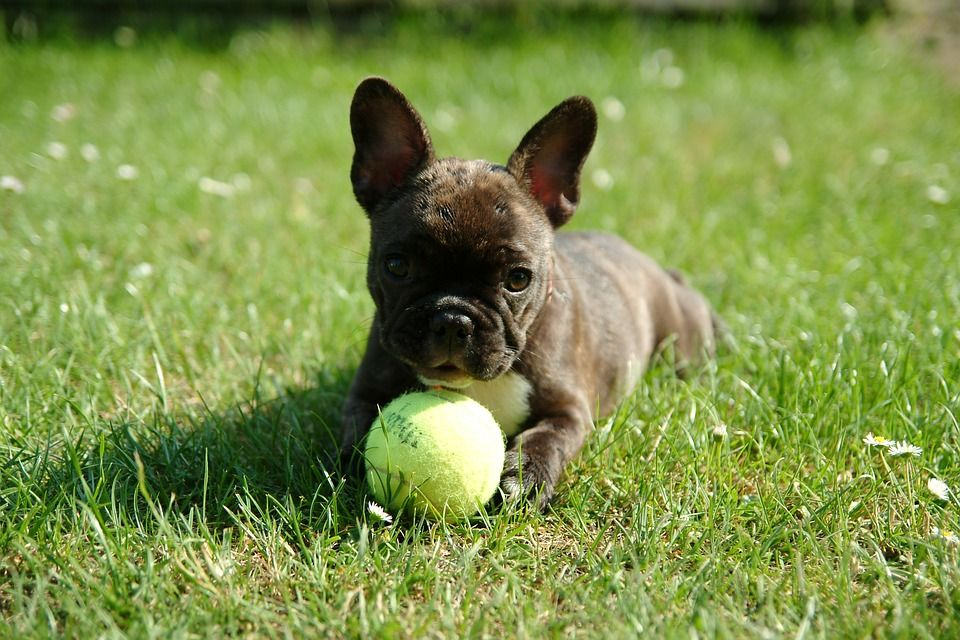 Small puppy with tennis ball